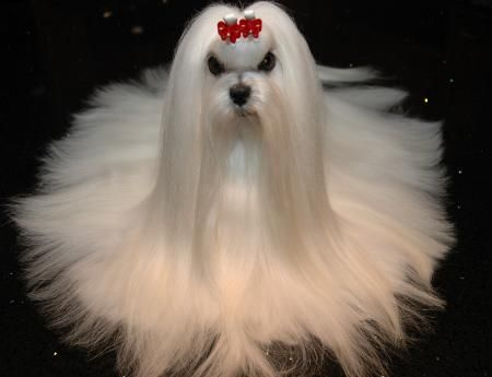 Maltese Dog Haircuts Styles Pictures