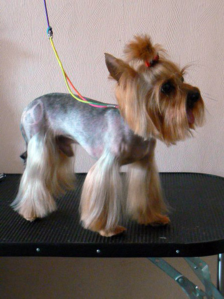 Females Yorkie Haircuts Pictures for Summer