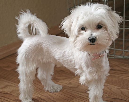 Creative  As Well Small Dog Haircut Styles On Different Haircuts For Small Dogs
