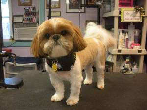 Male Shih Tzu Haircuts Styles Pictures